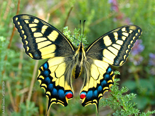 Cuadros en Lienzo Swallowtail butterfly, Papilio machaon