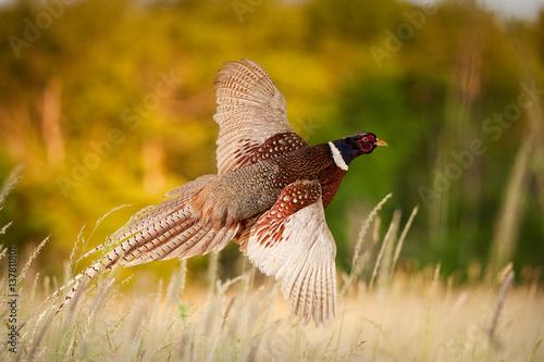 Obraz na plátně Pheasant Flying JCR2977_006