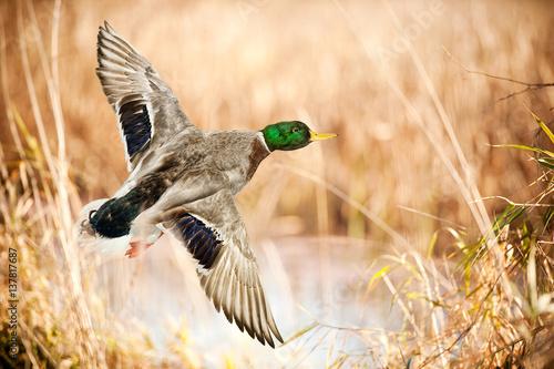 Fotografia Duck Mallard JCR3005-003