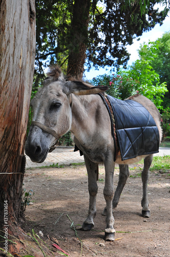 a donkey tethered to tree Abkhazia 2016, July Canvas Print