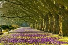 Spring Flowering Crocuses ,A P...