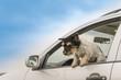 Hund spring aus dem Auto - Jack Russell Terrier