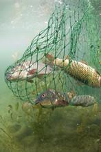 Fish Caught In Net, Lake Skada...