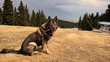German Shepherd dog in the forest on mountains. Slovakia