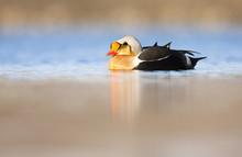 King Eider Duck (Somateria Spe...