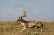 Fallow Deer (Dama Dama) Buck Running, Klampenborg Dyrehaven, Denmark, October 2008