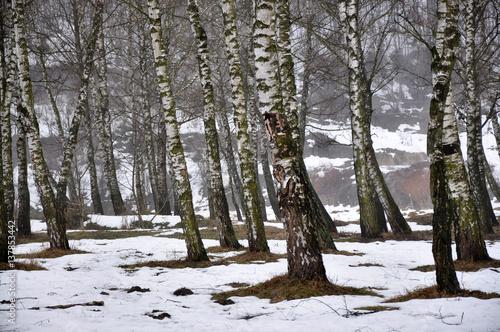 Papiers peints Bosquet de bouleaux Landscape in early spring in a birch grove