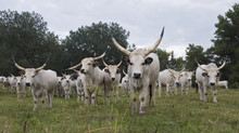 Hungarian Grey Cattle Herd In Field, Mohacs, Béda-Karapancsa, Duna Drava NP, Hungary, September 2008