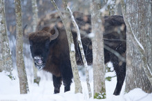 European Bison (Bison Bonasus) Licking Nose, Bialowieza NP, Poland, February 2009