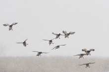 Mallards (Anas Platyrhynchos) Flying In Snow, Lake Tysslingen, Sweden, March 2009