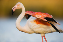 Greater Flamingo (Phoenicopterus Roseus) Stretching Wings, In Lagoon, Pont Du Gau, Camargue, France, April 2009