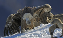 Griffon Vulture (Gyps Fulvus) With Open Wings, Cebollar, Torla, Aragon, Spain, November 2008. WWE OUTDOOR EXHIBITION. NOT AVALIABLE FOR GREETING CARDS OR CALENDARS.