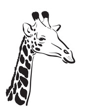 Vector Of A Giraffe Head On Wh...