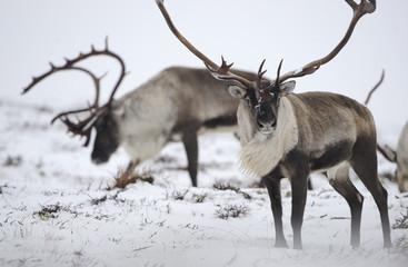 Reindeer (Rangifer tarandus...