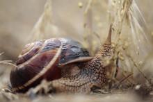 Turkish / Balkan Edible Snail (Helix Lucorum) Stenje Region, Galicica National Park, Macedonia, June 2009