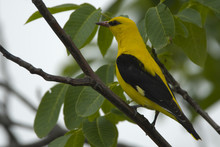 Golden Oriole (Oriolus Oriolus) Male Perched, Bulgaria, May 2008