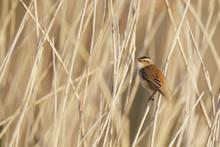 Sedge Warbler (Acrocephalus Schoenobaenus) In Reed, The Netherlands