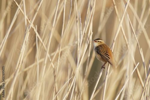 Fotografie, Obraz  Sedge Warbler (Acrocephalus schoenobaenus) in reed, the Netherlands
