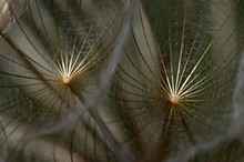 Close-up Of Goatsbeard / Salsify (Tragopogon Sinuatus) Seeds, Prina, Crete, Greece, April 2009