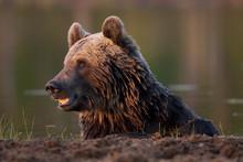 European Brown Bear (Ursos Arc...