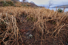 European River Otter (Lutra Lutra) Runs And Spraint In Bracken, Ardnamurchan, Scotland, January 2009