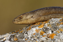 European Glass Lizard (Ophisau...