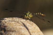 Male Yellow Clubtail Dragonfly (Gomphus Simillimus) Resting On Stone, Allier River, Pont-du-Chateau, Auvergne, France, August 2010
