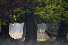 Red Deer (Cervus Elaphus) Stag Under Trees Calling During Rut In Morning, Klampenborg Dyrehaven, Denmark, September 2008. Exclusive Japanese Calendar Rights For 2014