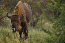 European Bison Or Wisent (Biso...
