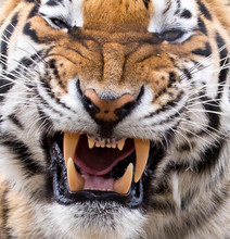 Tiger Snarl And Teeth