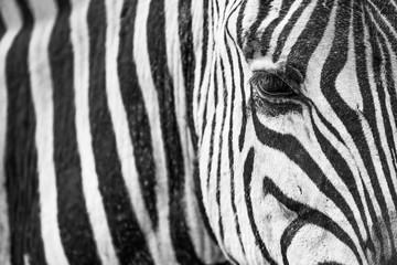 Fototapeta na wymiar Zebra Closeup