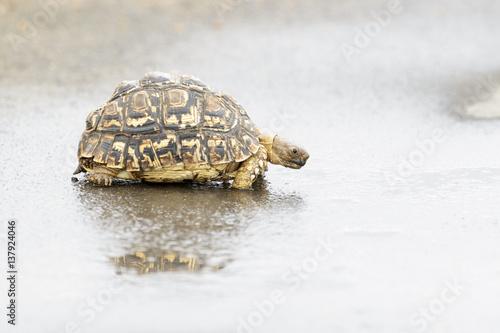 Foto op Canvas Schildpad Leopard tortoise (Geochelone pardalis), Kruger National Park, South Africa, Africa