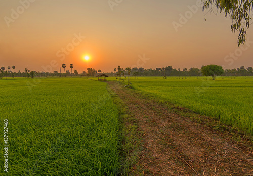 Poster Rijstvelden Beautiful view of rice paddy field during sunset in Thailnad. Nature composition