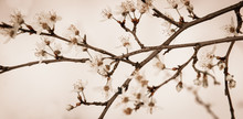 Sudden Winter In Spring. Fruit Tree Blossoms Against Snow Background. Sepia. Selective Focus And Shallow Depth Of Field.