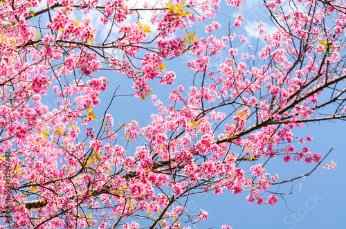 Beautiful pink flower of Sakura or Wild Himalayan Cherry tree in outdoor park with blue sky