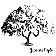 Vector Sketch Illustration. Black Silhouette Of Japanese Maple Isolated On White Background. Palmate Maple, Native To Japan, China, Korea, Mongolia And Russia. Bonsai