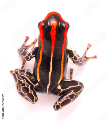 poison dart or arrow frog, Ranitomeya uakarii. A Dendrobates species from the Amazon rain forest in Peru. This animal lives in tropical Amazon rain forest of Peru. Isolated on white background.