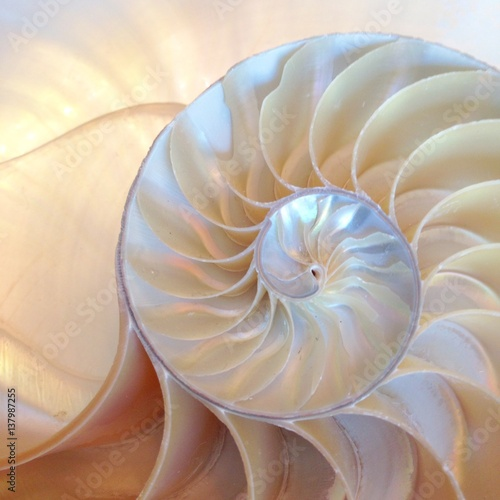 Foto auf Gartenposter Spirale nautilus shell section background symmetry Fibonacci half cross section spiral golden ratio number sequence stock photo, stock photograph, image, picture, editorial structure growth copy space