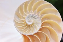 Nautilus Shell Section Fibonacci Golden Ratio Cross Section Spiral Shell Symmetry Half Structure Growth Mother Of Pearl Close Up ( Pompilius Nautilus ) Stock Photo Photograph Image Picture