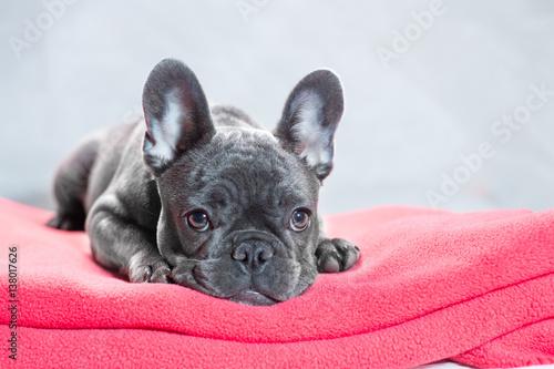Foto op Plexiglas Franse bulldog French Bulldog at Rest
