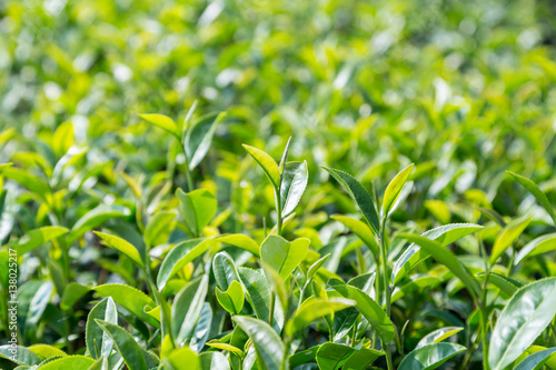 Staande foto India green tea leave in field, close up