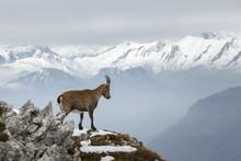 Mountain Goat On The Edge
