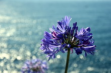 Closeup Photo Of Lily Of The Nile, Also Called African Blue Lily Flower, In Purple Blue Shade (Agapanthus Africanus) In Australia. Blue Agapanthus Flowering Plant In Summer Garden.