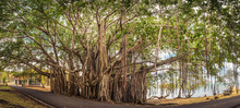 Big Banyan Tree. Panorama