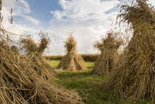 Sheaves Of Wheat Harvest By Hand In An Old Fashioned Style Dry