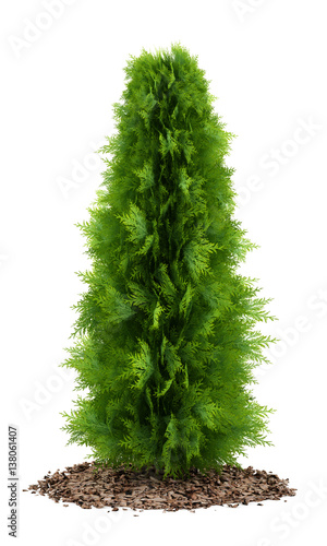thuja plant isolated on white background Wall mural