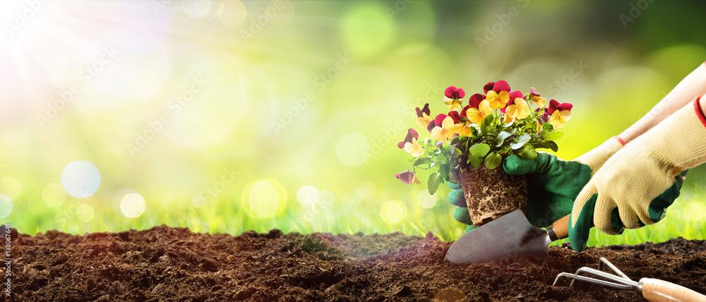 Fototapety, obrazy: Gardening - Planting A Pansy In Sunny Garden