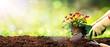 Leinwandbild Motiv Gardening - Planting A Pansy In Sunny Garden