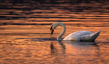 Beautiful Swan In The Water Sunset Colours