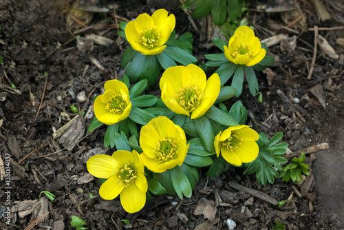 A close up view of yellow winter aconite (eranthis hyemalis) flowering through w Canvas Print